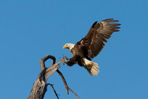 bald-eagle-1624943_1280